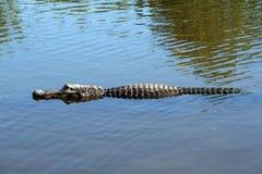 Américain d'alligator Images libres de droits