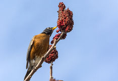 Américain Robin sur un staghorn 2 de sumac Photo stock