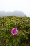 Amrum (Niemcy) - Windflower przy mgłą Zdjęcia Stock