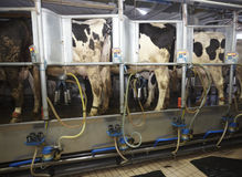 AMS de la industria de la leche de la granja de la vaca Foto de archivo libre de regalías