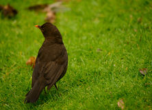Amsel Stockfotos