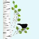 Amsel auf einem Birkenzweig Stockbilder