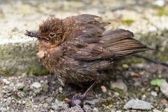 Amsel des gewordenen Vogels verwundete tödlich von einem Katzenangriff Stockfoto