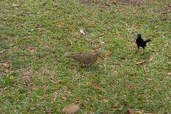 Amsel, die an eine unverschämte Lebensmittelherausforderung mit einer Taube denkt stockbild
