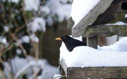 Amsel, die im schneebedeckten Vogelhaus kühlt Lizenzfreie Stockfotografie