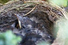 Amsel, die seinen Kopf aus Nest heraus emporragt Lizenzfreie Stockfotos