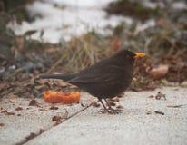 Amsel mit einem orange Schnabel lizenzfreies stockfoto