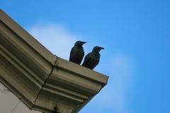 Amsel-Paare gehockt auf Dach Stockbilder