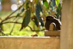 Amsel - (Turdus merula) Lizenzfreies Stockbild