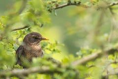 Amsel (Turdus merula) singend in einem Baum Lizenzfreie Stockbilder