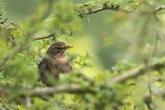 Amsel Turdus merula weiblicher Gesang in einem Baum Lizenzfreies Stockfoto