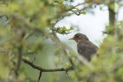 Amsel Turdus merula weiblicher Gesang in einem Baum Lizenzfreies Stockbild