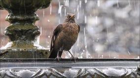 Amseldrosselreinigung in Vogelvogel-Wettersommer des Brunnengartens trinkendem stock video