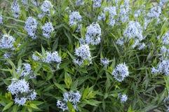 Amsonia - вызванный как bluestar Стоковая Фотография