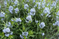 Amsonia - called as bluestar stock photography