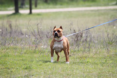 Amstaff Royalty Free Stock Photos