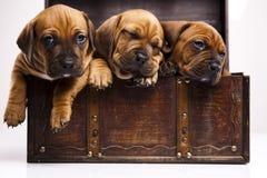 Amstaff de los perritos, dachshund Fotografía de archivo