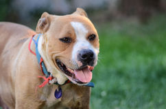 Amstaff dog. Female , two years old Stock Photography