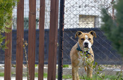 Amstaff dog looking trough a metal fence Stock Images