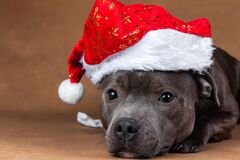 Amstaff dog lying down with red Santa Claus hat