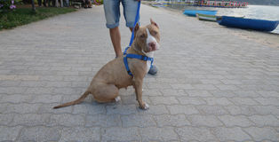 Amstaff dog with owner posing on the street in Pogradec, Albania Royalty Free Stock Images