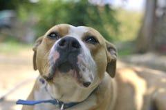 Amstaff dog Royalty Free Stock Images