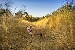 Amstaff dog Stock Photography