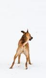 Amstaff dog playing stock photo