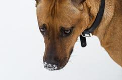 Amstaff dog portrait royalty free stock photo