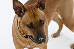 Amstaff dog portrait Stock Photo