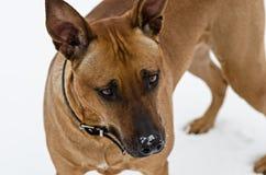Amstaff dog portrait stock photo