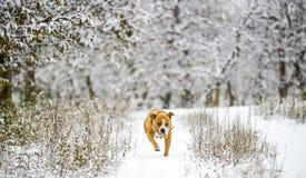 amstaff dog running on snow royalty free stock photo