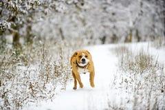 amstaff dog running on snow stock photos