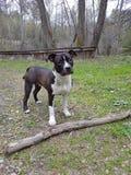Amstaff-Hund Lizenzfreie Stockbilder
