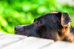Amstaff looking at food. Dog looking at food, amstaff breed, selective focus Royalty Free Stock Photo
