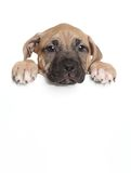 Amstaff puppy above banner Royalty Free Stock Photography