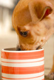 Amstaff puppy drinking Royalty Free Stock Photography