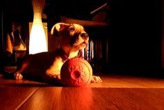 Amstaff puppy on the floor