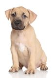 Amstaff puppy Stock Images