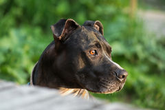 Amstaff regardant quelque chose intresting photographie stock