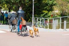 AMSTERDAM-APRIL 30: Den odefinierade personen med hundkapplöpning rider en cykel på April 30,2015, Nederländerna Arkivbilder