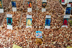 AMSTERDAM-APRIL 28: Different kinds of tulip bulbs on the Amsterdam Flower Market on April 28,2015, the Netherlands. Stock Photography