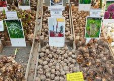AMSTERDAM 28 AVRIL : Les ampoules sur la fleur d'Amsterdam lancent en avril 28,2015 sur le marché, Pays-Bas Photographie stock libre de droits