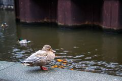 Amsterdam duck in the street. Duck on the river embankment in spring. Selective focus Royalty Free Stock Photos