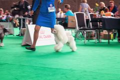 White Frence poodle shows her tricks to the jury during the wor. Amsterdam, The Netherlands, August 10, 2018: White Frence poodle shows her tricks to the jury stock photo