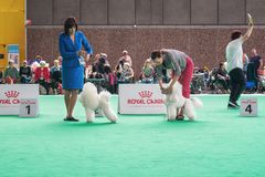 White Frence poodles show their tricks to the jury during the w. Amsterdam, The Netherlands, August 10, 2018: White Frence poodles show their tricks to the jury stock photography