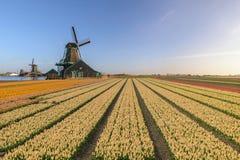 Amsterdam Netherlands, Dutch Windmill at Zaanse Schans Village with tulip field. Amsterdam Netherlands, Dutch Windmill and traditional house at Zaanse Schans royalty free stock images