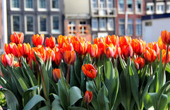 Amsterdam in tulips. Beautiful view of Amsterdam building, channels and boats with a lot of tulips Stock Photo
