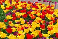 Amsterdam-Tulpenblühen Stockfoto