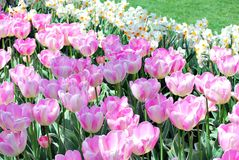Amsterdam-Tulpenblühen Stockbild